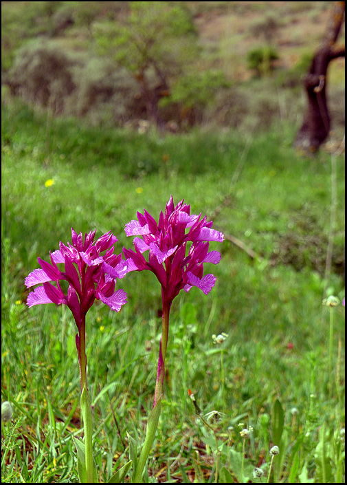 Andalusia's Wild Orchids
